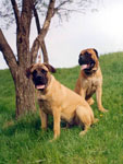 Bullmastiff WONDERFUL VICTORY (8 months old) with her dad ZOLTON
