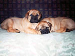 Bullmastiffs WONDERFUL VICTORY and WELLBRED VIKING, 2 months old