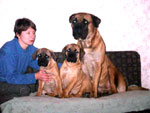 Bullmastiffs WONDERFUL VICTORY and WELLBRED VIKING (3 months old) with their dad ZOLTON