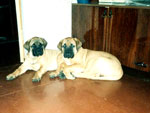 Bullmastiffs WONDERFUL VICTORY and WELLBRED VIKING, 3 months old