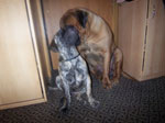 Bullmastiff WELLBRED VIKING