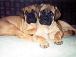 Bullmastiffs WELLBRED VIKING e WONDERFUL VICTORY - 2,5 mesi