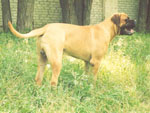Bullmastiff WELLBRED VIKING - 9,5 mesi