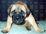 Bullmastiff WELLBRED VIKING - 1,5 mesi