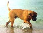 Bullmastiff WELLBRED VIKING, 11 mesi