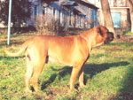 Bullmastiff WELLBRED VIKING, 14 mesi