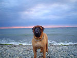 Bullmastiff WELLBRED VIKING, 6 anni