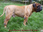 Bullmastiff WELLBRED VIKING, 8 anni