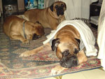 Bullmastiff ZOLTON with Vanya and Leo