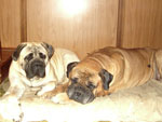 Bullmastiff ZOLTON with Bimba