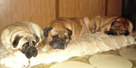 Bullmastiff ZOLTON with Leo and Bimba