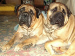 Bullmastiff ZOLTON with Leo