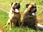 Bullmastiffs ZOLTON and WONDERFUL VICTORY